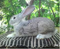 jenis kelinci Flemish Giant