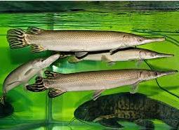 Aligator Spatula jenis ikan predator air tawar