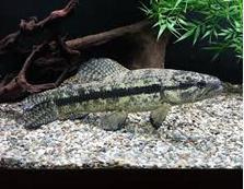 Hoplias Curupira jenis ikan predator air tawar