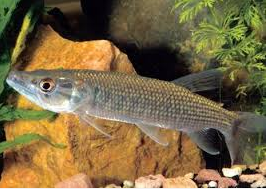 African Pike Characin jenis ikan predator air tawar