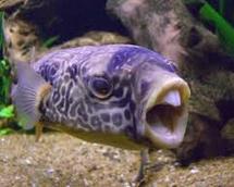 jenis ikan predator fahaka puffer fish