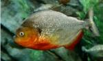 Piranha jenis ikan predator air tawar