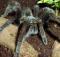 Laba Laba Tarantula