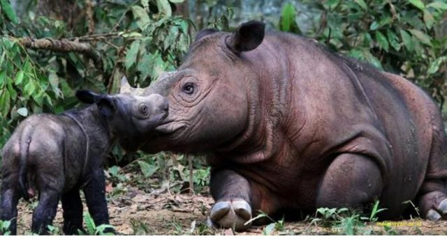 Gambar, Foto Nama Nama Hewan Langka Beserta Gambarnya - Badak Sumatra