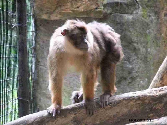 Nama Nama Hewan Langka Beserta Gambarnya - Bokoi atau bokkoi (Macaca pagensis)