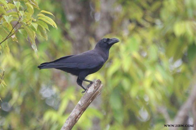 Gambar, Foto Nama Nama Hewan Langka Beserta Gambarnya - Gagak Banggai (Corvus unicolor)