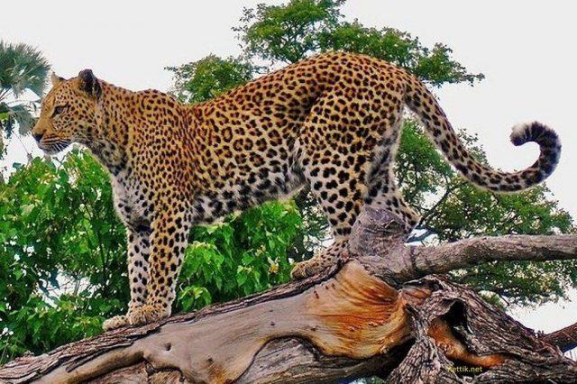 Gambar, Foto Nama Nama Hewan Langka Beserta Gambarnya - Macan tutul jawa
