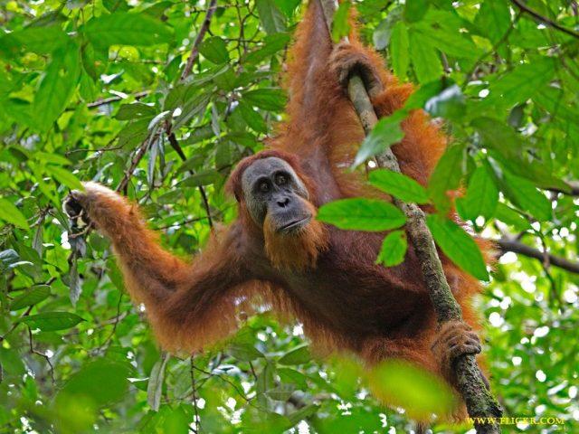 Gambar, Foto Nama Nama Hewan Langka Beserta Gambarnya - Orangutan Sumatran (Pongo abelii)