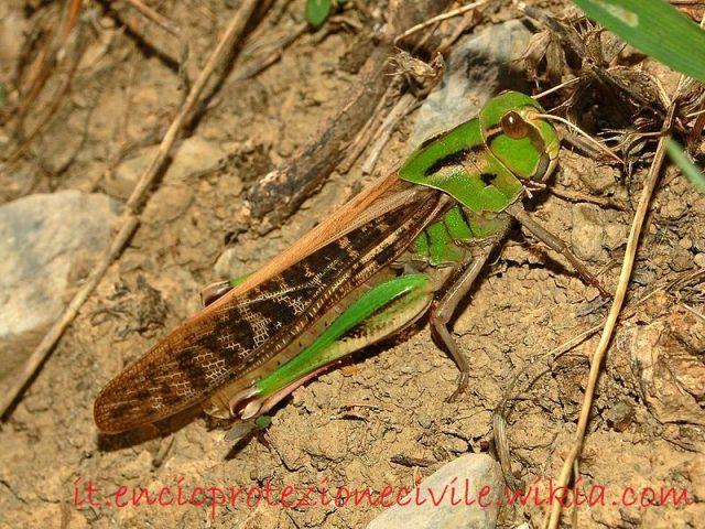 klasifikasi-belalang-fakta-unik-dan-menarik-serta-gambar-berbagai-jenisnya-locusta-migratoria
