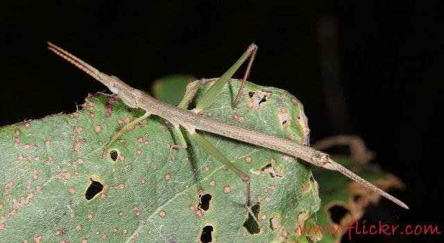 Foto Klasifikasi Belalang Fakta Unik Dan Menarik Serta Gambar Berbagai Jenisnya-Morabidae.jpg