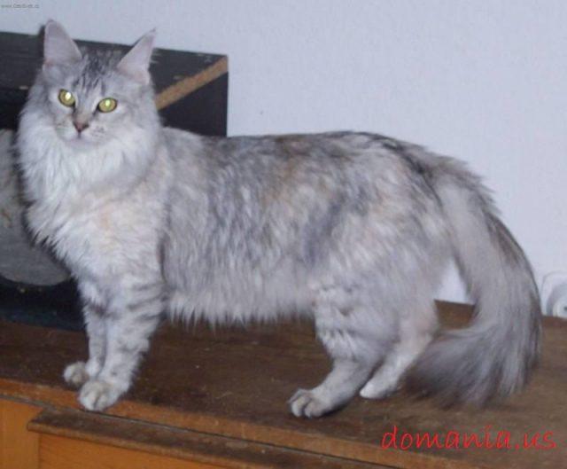 Gambar Bulu Kucing Anggora Asli, Ketahui Ciri Cirinya Sebelum Membeli