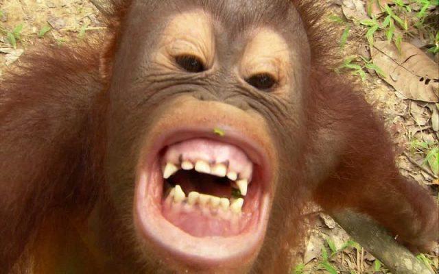 gambar anak orangutan lucu - gigi gue putih kan