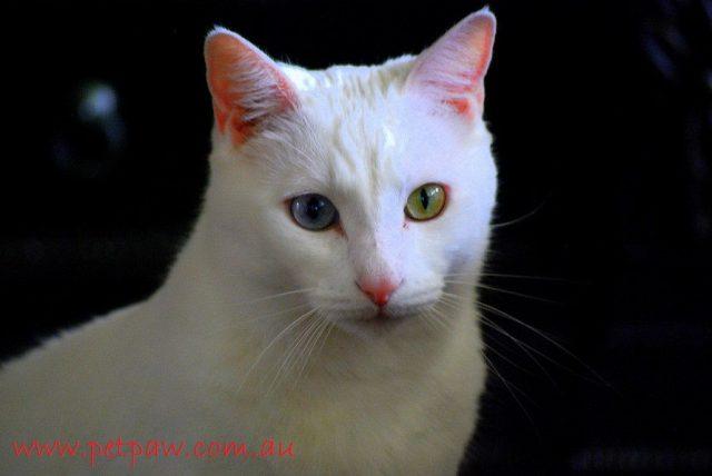 Gambar Kepala Kucing Anggora Asli, Ketahui Ciri Cirinya Sebelum Membeli
