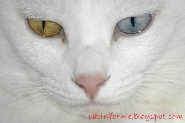 Mata - Kucing Anggora Asli, Ketahui Ciri Cirinya Sebelum Membeli