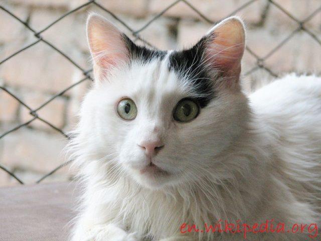 Gambar Telinga Kucing Anggora Asli, Ketahui Ciri Cirinya Sebelum Membeli