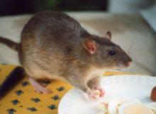 Gambar cara mengusir tikus dari rumah paling ampuh