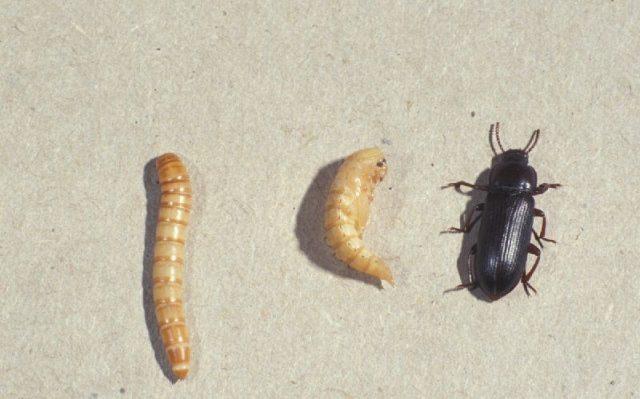 Gambar fase kehidupan kumbang ulat hongkong