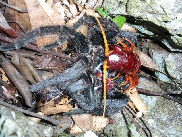 Gambar foto foto kelabang raksasa saat memangsa tarantula