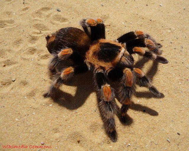 gambar dan jenis laba laba tarantula mexican red knee tarantula brachypelma smithi