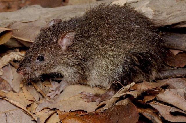 Gambar klasifikasi tikus dan jenis jenis serta gambarnya di berbagai dunia bandicota indica