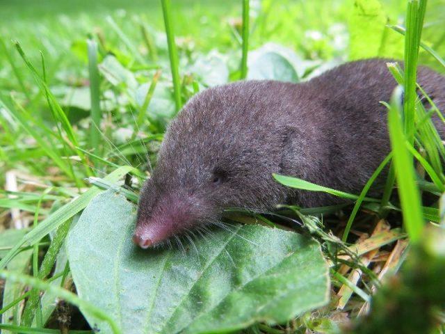 Gambar klasifikasi tikus dan jenis jenis serta gambarnya di berbagai dunia celurut shrews