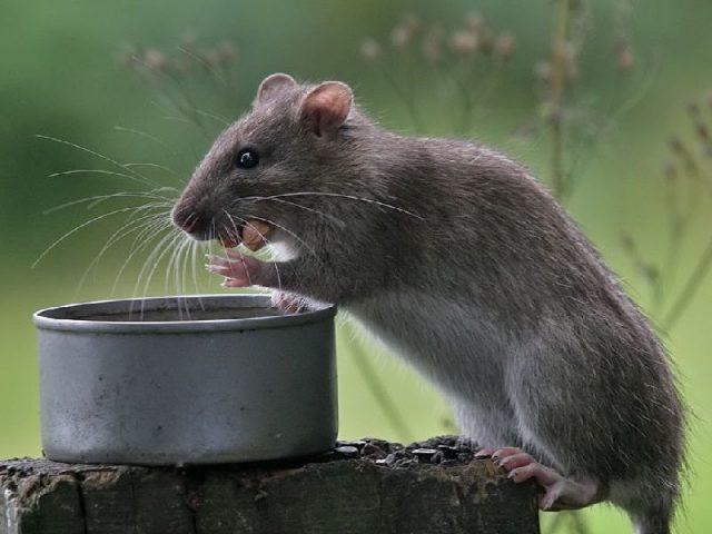 Gambar klasifikasi tikus dan jenis jenis serta gambarnya di berbagai dunia rattus norvegicus