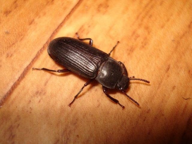 Gambar kumbang ulat hongkong dan klasifikasinya