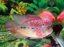 Gambar manfaat jangkrik untuk ikan louhan