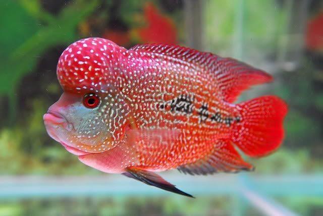 Gambar makanan ikan louhan biar jenong