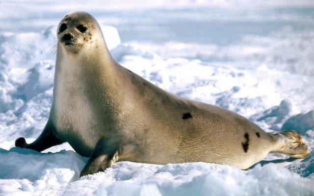 Gambar Nama Nama Hewan Laut Dan Gambarnya Anjing Laut