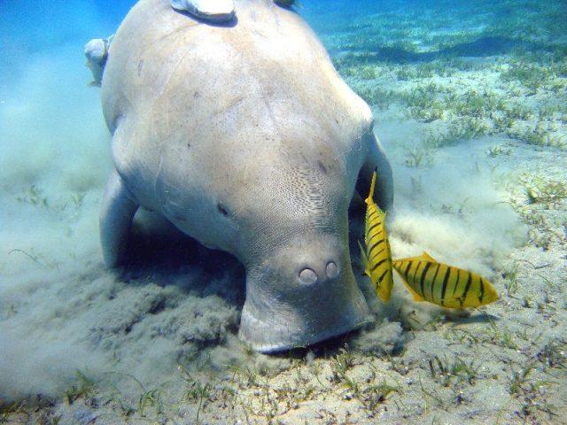 Gambar Nama Nama Hewan Laut Dan Gambarnya Dugong atau Putri Duyung