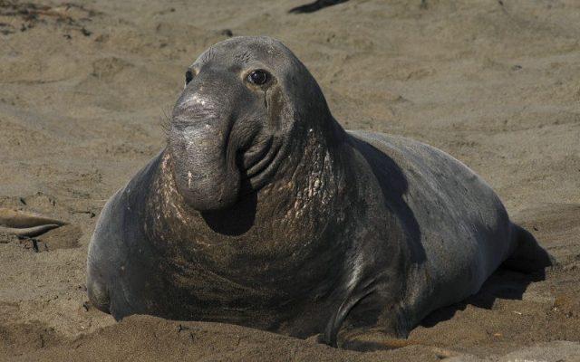 Gambar Nama Nama Hewan Laut Dan Gambarnya Gajah Laut
