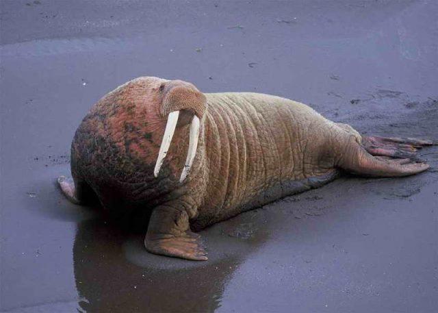 Gambar Nama Nama Hewan Laut Dan Gambarnya Walrus