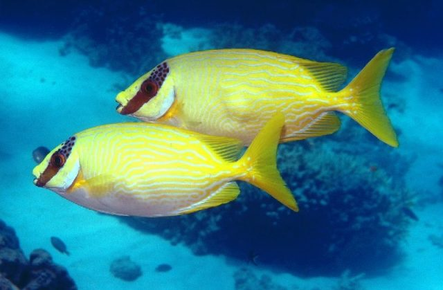 Gambar Nama Nama Ikan Laut Dan Gambarnya Baronang ( Siganus Sp )