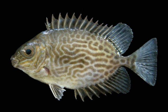 Gambar Nama Nama Ikan Laut Dan Gambarnya Baronang batik (Siganus vermiculatus)