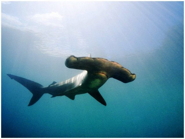 Gambar Nama Nama Ikan Laut Dan Gambarnya Cucut ronggeng (Eusphyra blochii)