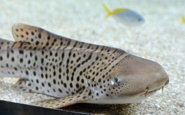 Gambar Nama Nama Ikan Laut Dan Gambarnya Cucut tokek, cucut kembang (Stegostoma fasciatum)