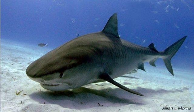 Gambar Nama Nama Ikan Laut Dan Gambarnya Hiu Harimau (Galeocerdo cuvier)