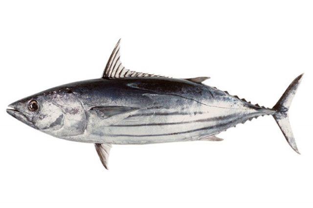 Gambar Nama Nama Ikan Laut Dan Gambarnya Ikan Cakalang