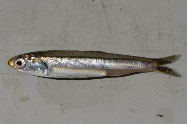 Gambar Nama Nama Ikan Laut Dan Gambarnya Ikan Engraulis ( Teri )