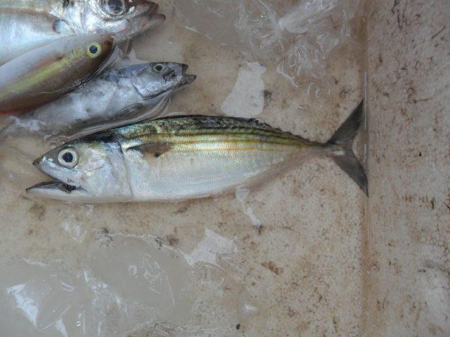 Gambar Nama Nama Ikan Laut Dan Gambarnya Ikan Kembung (Rastrelliger faughni)