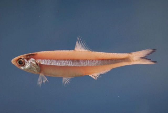 Gambar Nama Nama Ikan Laut Dan Gambarnya Ikan Teri