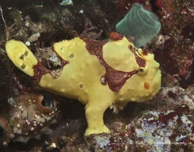 Gambar Nama Nama Ikan Laut Dan Gambarnya Ikan kodok