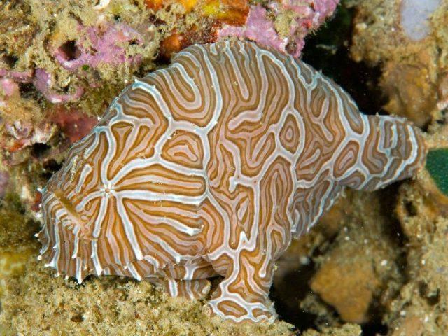 Gambar Nama Nama Ikan Laut Dan Gambarnya Ikan-kodok maluku (Histiophryne psychedelica)