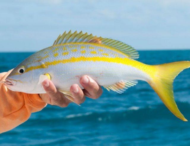 Gambar Nama Nama Ikan Laut Dan Gambarnya Kakap Ekor kuning ( Yellowtail Snapper )