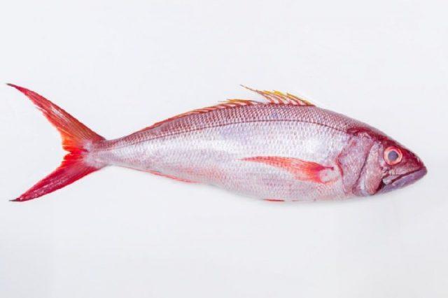 Gambar Nama Nama Ikan Laut Dan Gambarnya Kakap Sutra (Silk Snapper)
