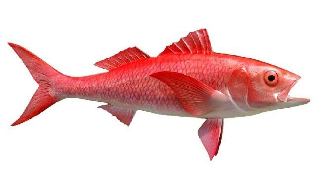 Gambar Nama Nama Ikan Laut Dan Gambarnya Kakap batu ( Queen Snapper )