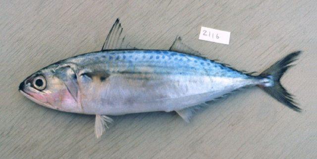 Gambar Nama Nama Ikan Laut Dan Gambarnya Kembung lelaki (Rastrelliger kanagurta)
