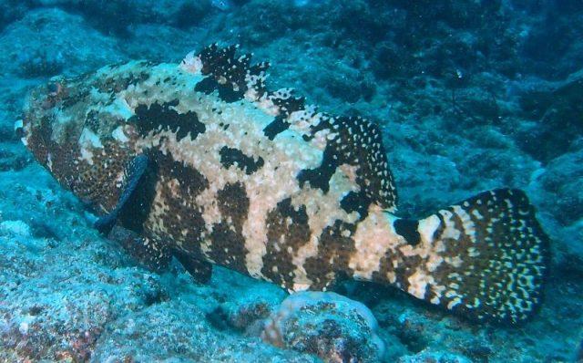 Gambar Nama Nama Ikan Laut Dan Gambarnya Kerapu harimau (Epinephelus fuscoguttatus)
