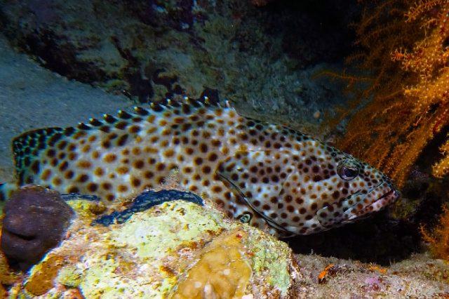 Gambar Nama Nama Ikan Laut Dan Gambarnya Kerapu kayu (Epinephelus tauvina)